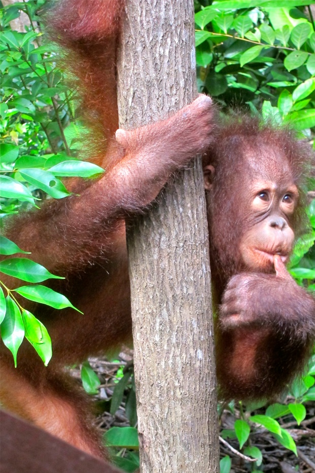 female orangutan - 6 years old