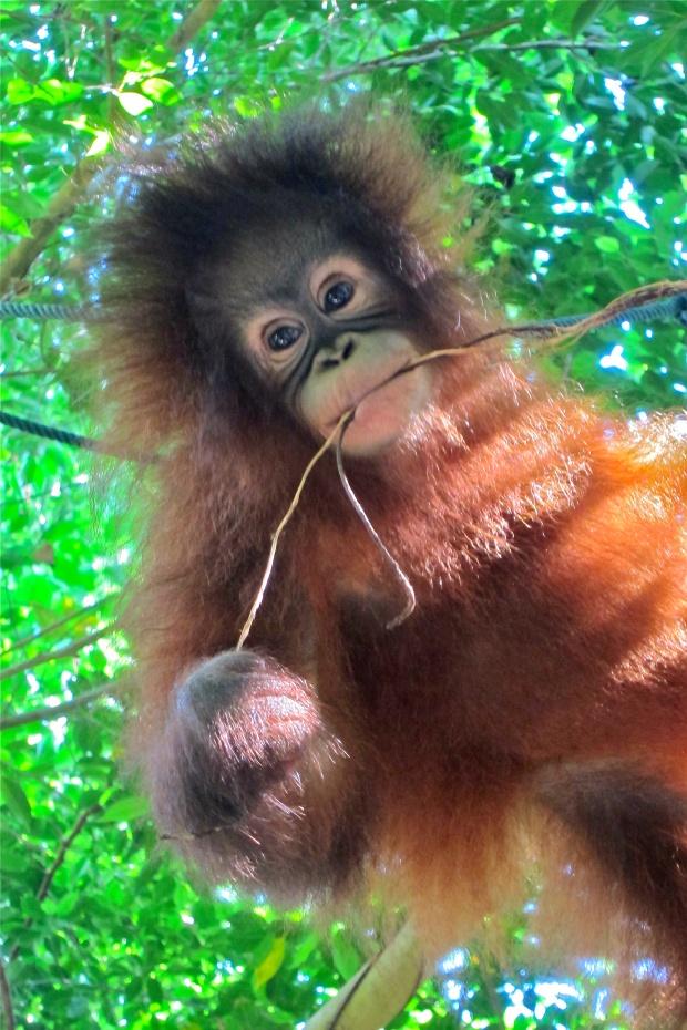 baby orangutan - 4 months old